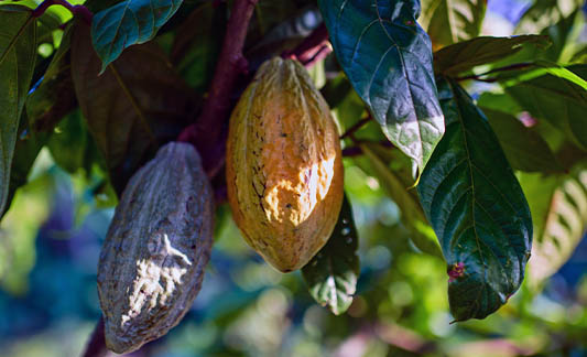 Cocoa Beans on Tree
